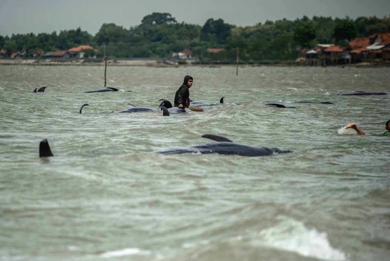 Une cinquantaine de dauphins-pilotes se sont subitement échoués sur une plage d'Indonésie. Seuls trois ont survécu.
