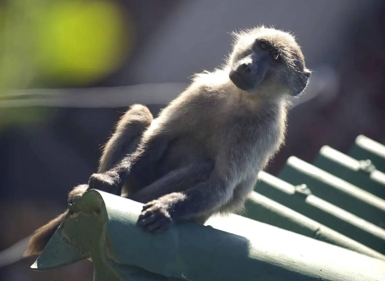 C'était un babouin tristement célèbre de la péninsule idyllique du Cap, à la pointe de l'Afrique du Sud: après de nombreux méfaits, le cambrioleur, aussi audacieux que multirécidiviste, a recruté une équipe. Et là, les autorités ont dit stop.