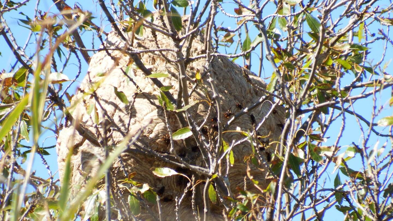 Les essaims de frelons asiatiques se nichent de préférence en hauteur, dans les arbres.