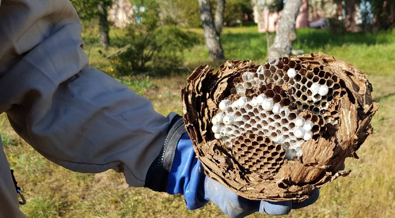 L'intérieur d'un nid: un modèle d'architecture naturelle dont chaque alvéole contient une ouvrière tueuse.