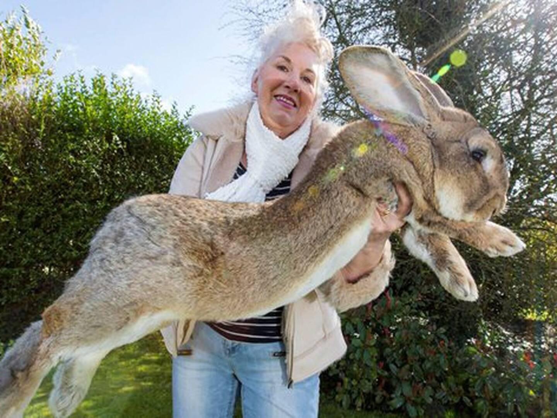 Le plus gros lapin du monde a disparu.