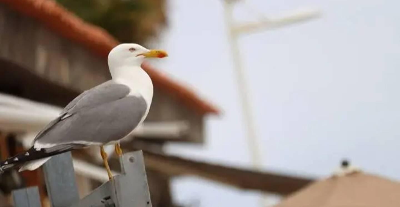Son air renfrogné, sa taille imposante et son attitude parfois belliqueuse font du goéland leucophée un oiseau plutôt hostile en apparence.