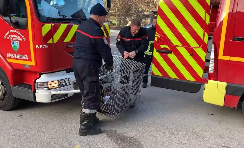 La chevrette (chevreuil femelle) a été secourue par les pompiers. Mais ses blessures étaient trop importantes. Un lieutenant de louveterie a dû mettre fin à ses souffrances.