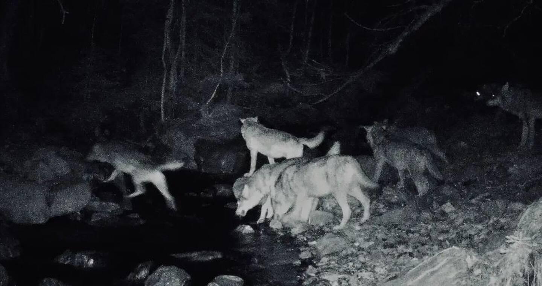 Sur le cliché pris le 3 mars, on distingue 8 loups.
