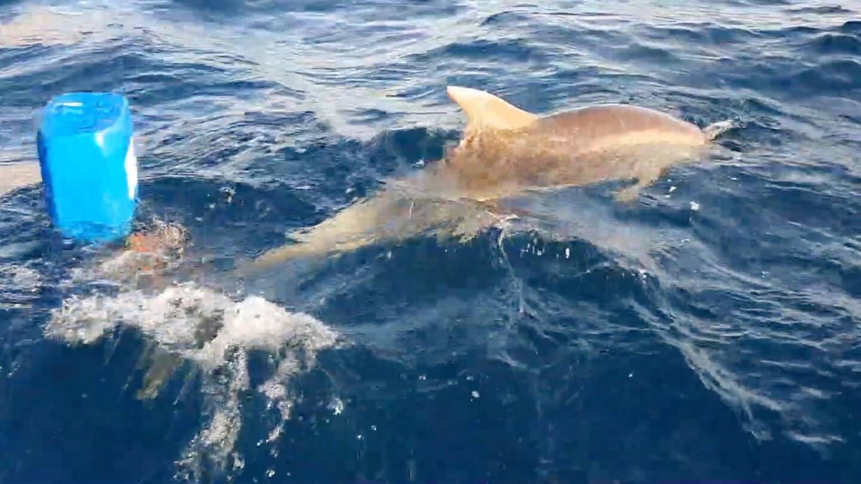 Un dauphin s'était accidentellement coincé dans le point mort d'une bouée.