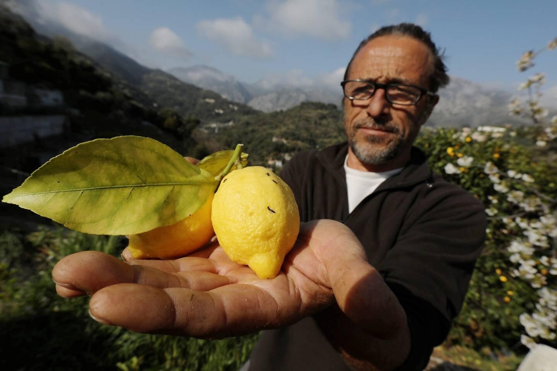 Christophe Sacchelli a distribué, vendredi, des larves de coccinelles à une dizaine d'adhérents pour protéger les agrumes contre les pucerons.