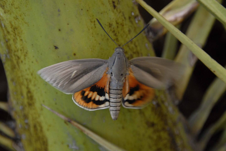 Le Paysandisia archon, dit le papillon du palmier.