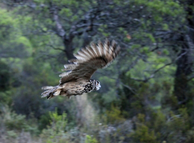 Parmi les espèces protégées qui peuplent le Faron, le Grand-duc d'Europe.