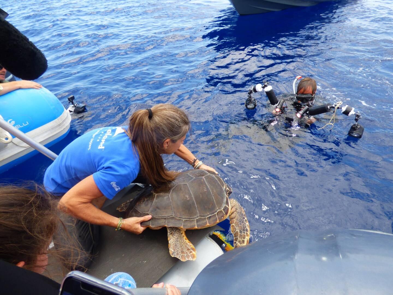 Après bien des mauvais moments, la tortue Ana a pu reprendre sa liberté.