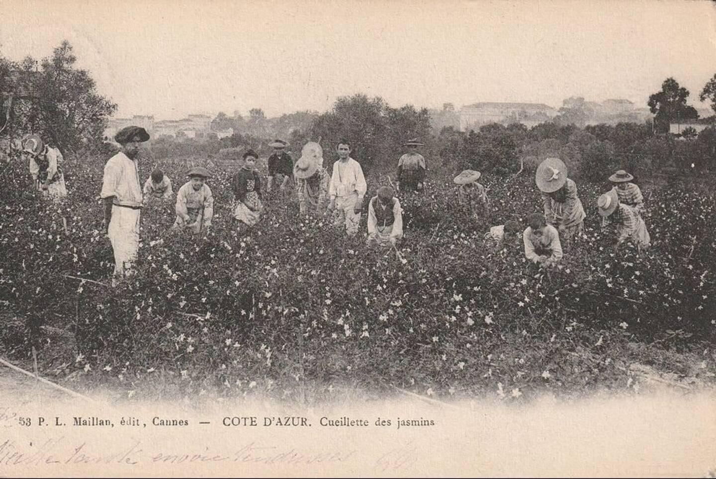 Sur cette carte postale, datée de 1900, la cueillette du jasmin, destiné à la parfumerie, sur les hauteurs du Suquet.