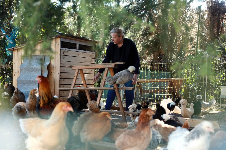 Il existe 40 à 50 races de poules en France et 200 dans le monde