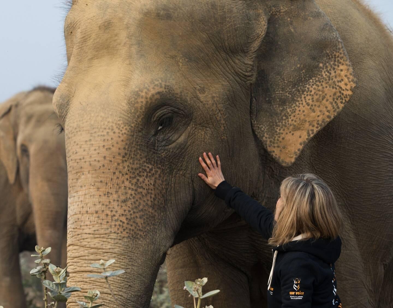 """""""Des éléphantes de plus de cinquante ans, capturées petites, sont toujours sur les routes"""", déplore la fondatrice de One Voice."""