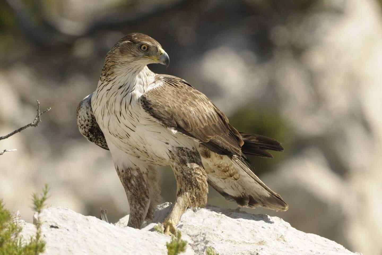 L'aigle de Bonelli a été dérangé lorsque les grimpeurs et randonneurs ont été déconfinés.