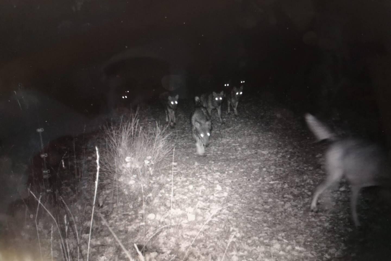 Le piège photo installé par Alain Benoit, éleveur à Canjuers, a capté l'image d'une meute de neuf loups dans la nuit du 19 novembre dernier.