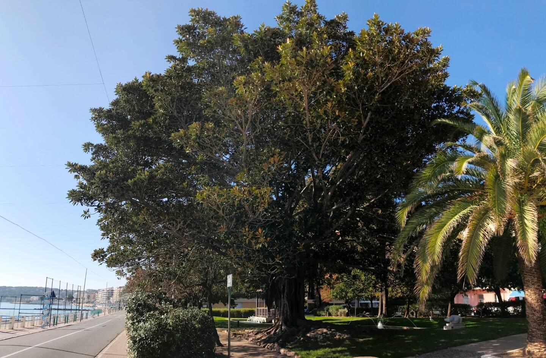 Le Ficus Macrophylla de Menton a été planté en 1870, dans le jardin de la place Elisée Reclus.