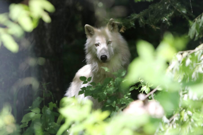 L'OFB estime que trois loups fugitifs sont encore en vie, dont une femelle arctique.
