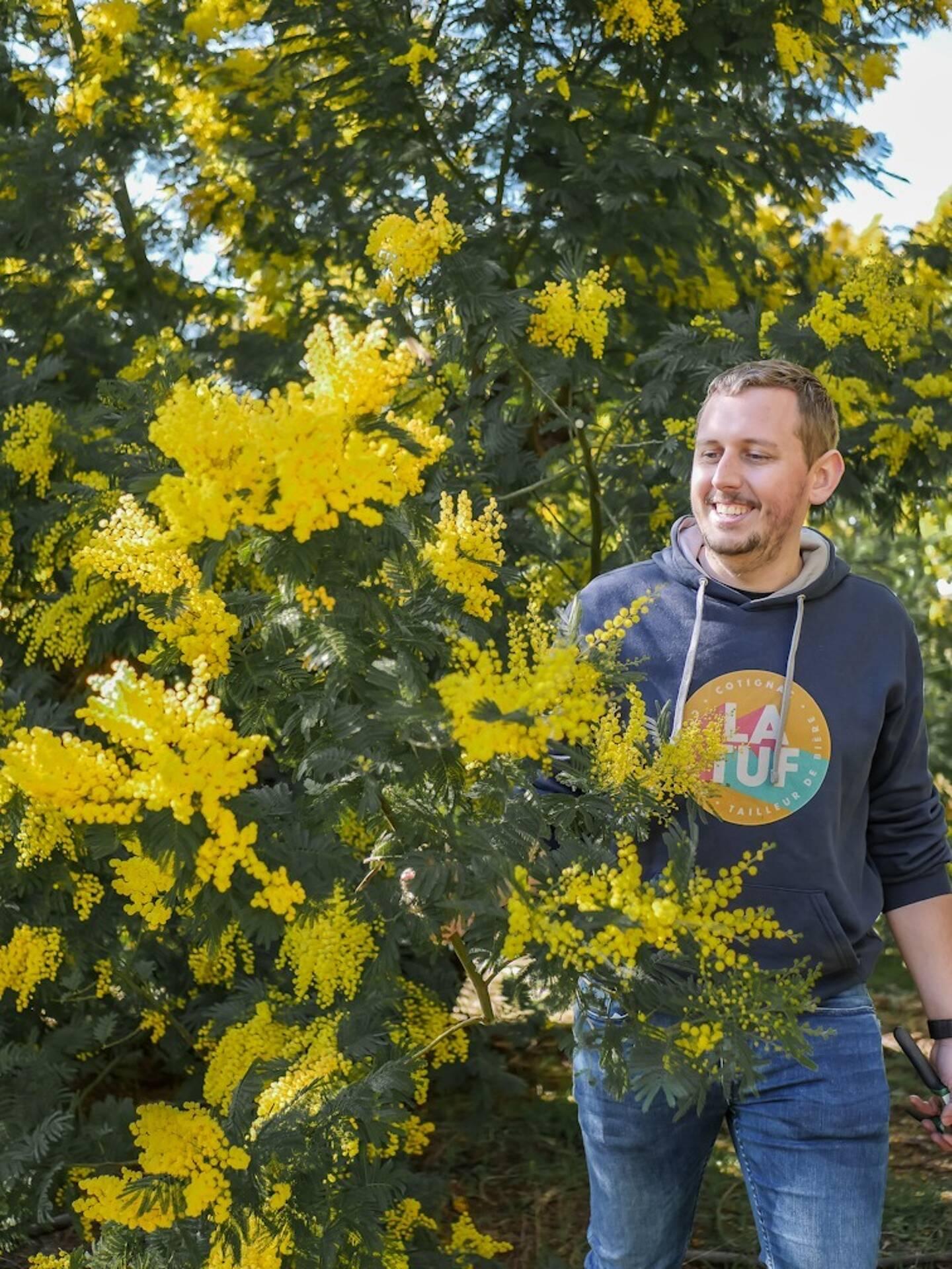 Cueillette de la fleur de mimosa pour Quentin Evrard, alias Levarois, blogueur et cocréateur de la bière.