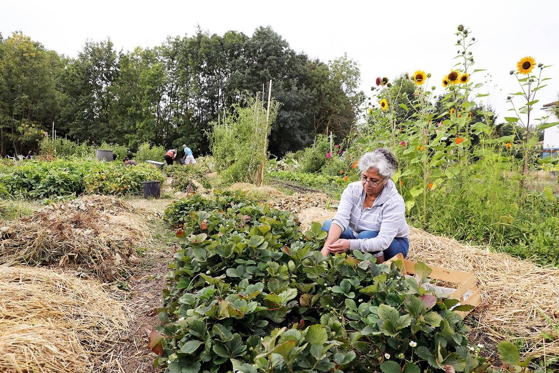 Le jardin partagé Rayssac, dans la commune d'Albi. Département du Tarn.