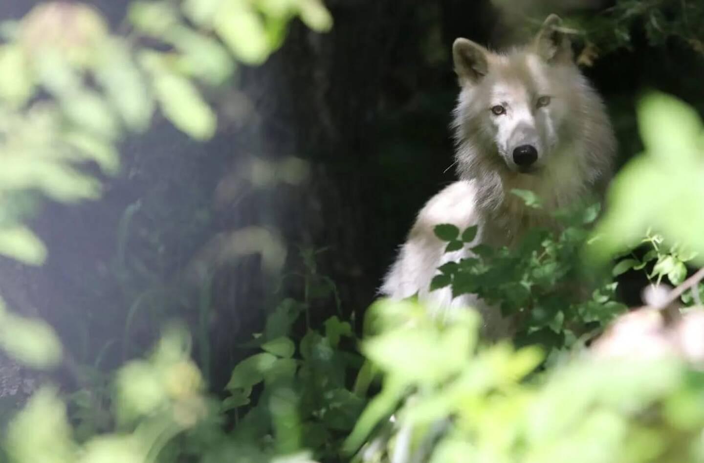 Un loup (image d'illustration).
