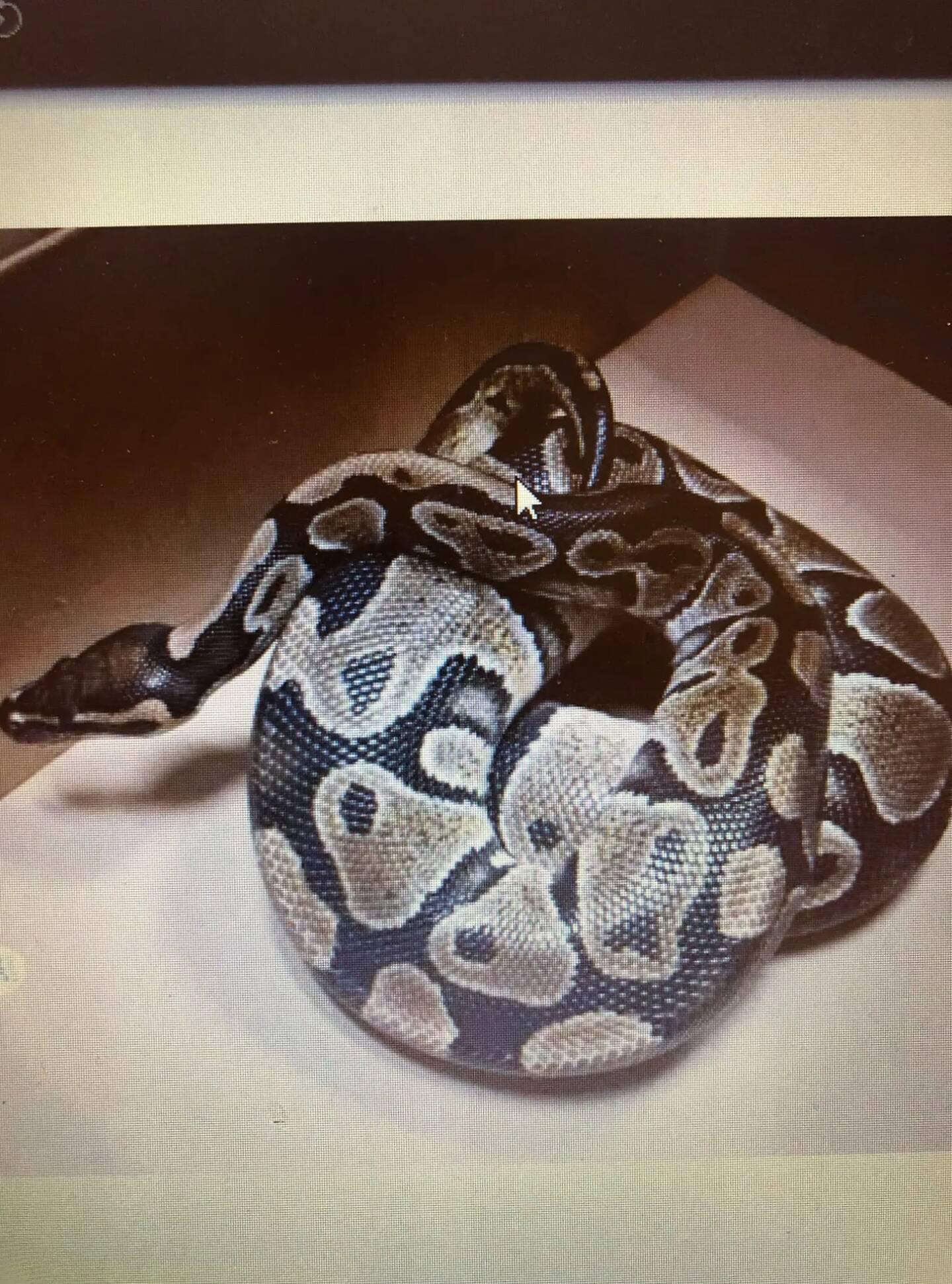 Le python retrouvé dans la sacoche de l'un des fuyards.