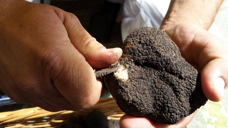 Illustration d'une truffe blanche.