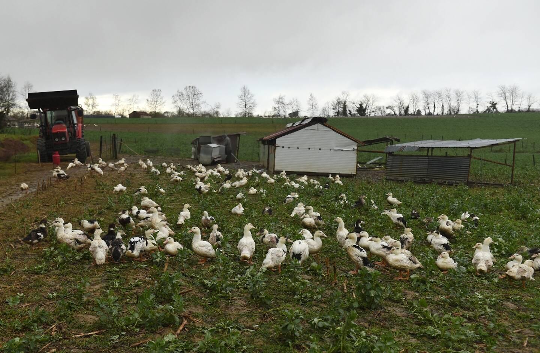 Elevage de canards dans les Landes le 29 décembre 2020