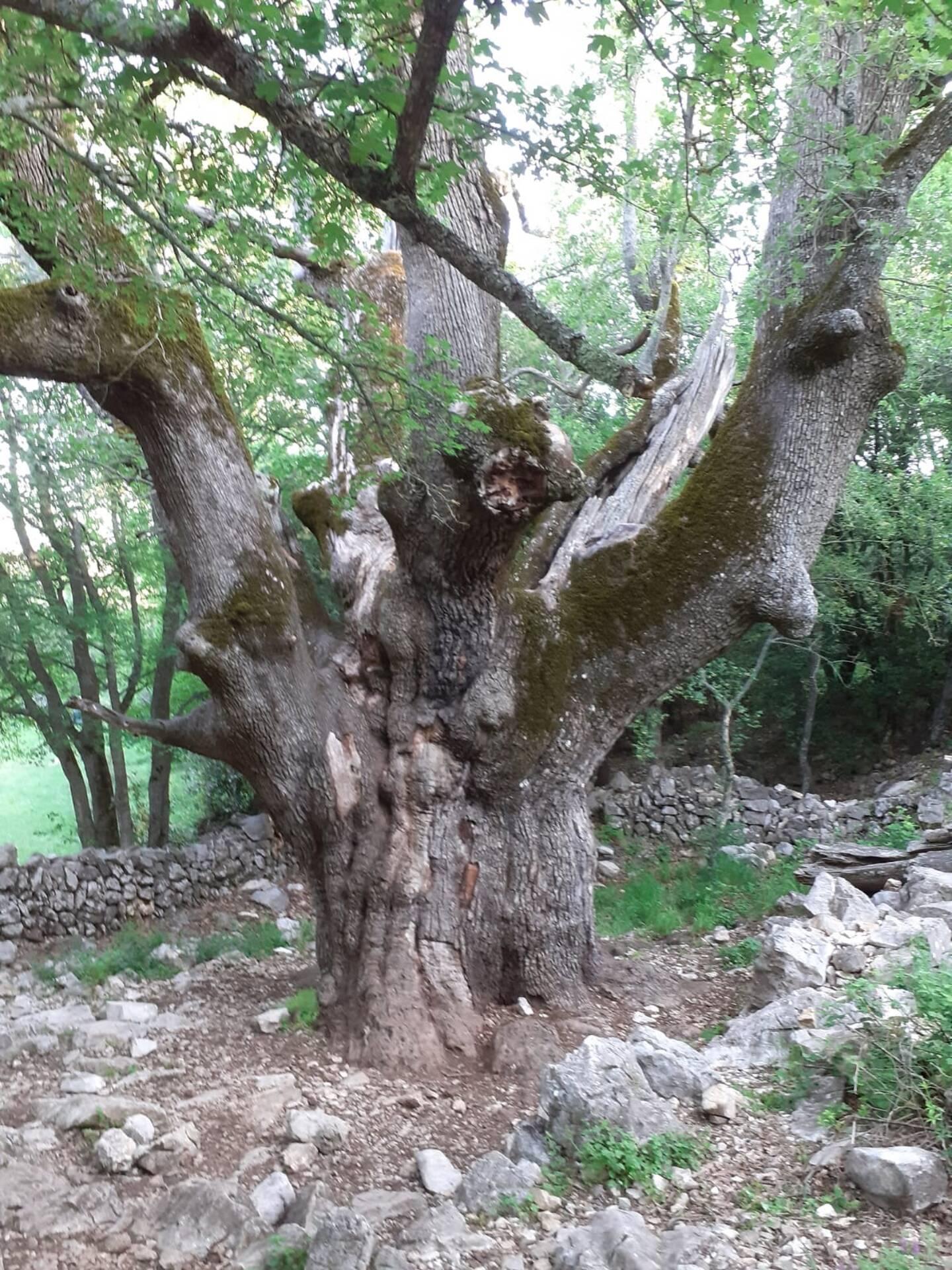 Le vieux chêne.