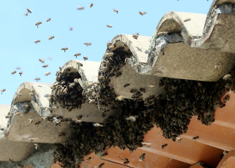 « Les abeilles ont besoin de cavité ou d'abris, comme les poubelles, les toits ou les lampadaires », souligne l'apiculteur mentonnais Christophe Sacchelli.