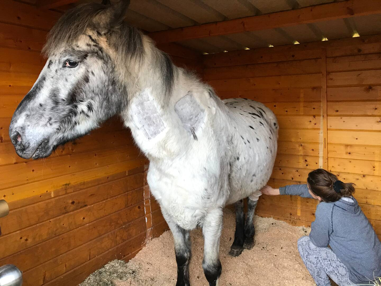 Dans son box à Peymeinade, le poney Pistache en route vers la guérison, grâce à la solidarité des amis des animaux.