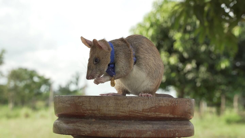 Photo non datée de Magawa, un rat africain géant détecteur de mines au Cambodge, fournie le 25 septembre 2020 par l'association britannique de protection des animaux PDSA qui lui a décerné une médaille d'or pour sa bravoure