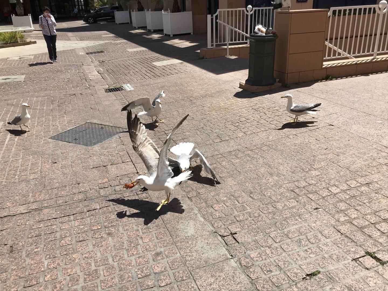 Place Besagne, des goélands se disputent un reste de pizza trouvé dans une poubelle.