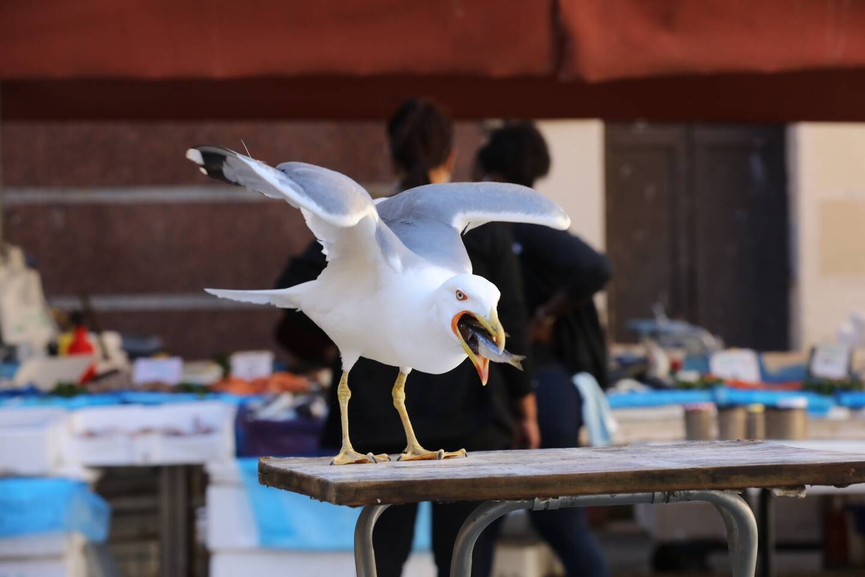 Place Saint-François, un goéland ne se gêne pas pour se régaler d'un poisson qu'il a piqué sur un banc. Avec ce volatile, l'audace a toujours le mot de la... faim !