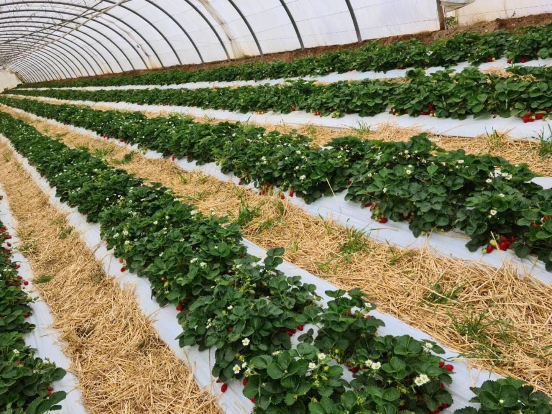 L'exploitation de Christian Marro, près du jardin Olbius-Riquier. Plusieurs variétés de fraises, dont la mariguette, la mara des bois et la clery, poussent en serre et aussi en plein champ.