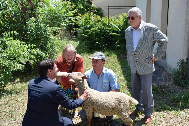 Le mouton E.T. (comme le film) va rejoindre quatre de ses semblables près de l'usine Galimard