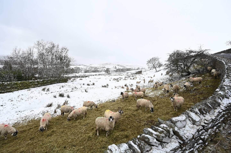 Des moutons dans un champ enneigé à Simonstone, dans le nord-ouest de l'Angleterre, le 7 février 2021.