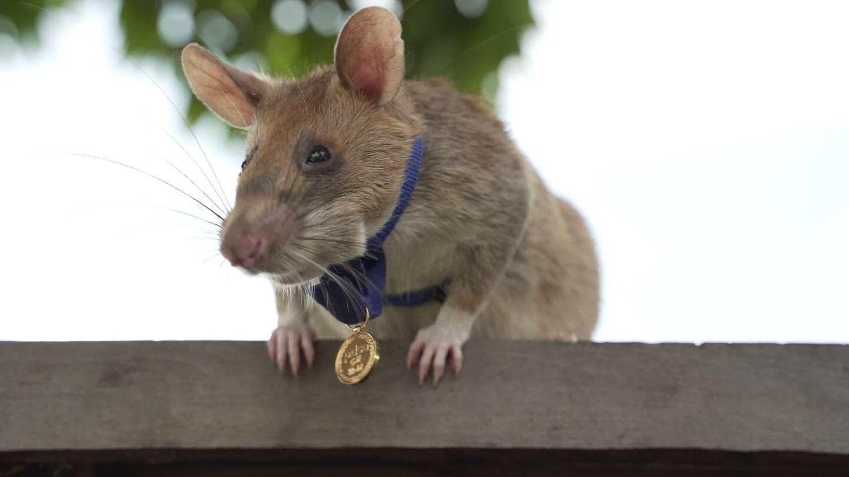 Photo non datée de Magawan, un rat africain géant détecteur de mines au Cambodge, fournie le 25 septembre 2020 par l'association britannique de protection des animaux PDSA qui lui a décerné une médaille d'or pour sa bravoure