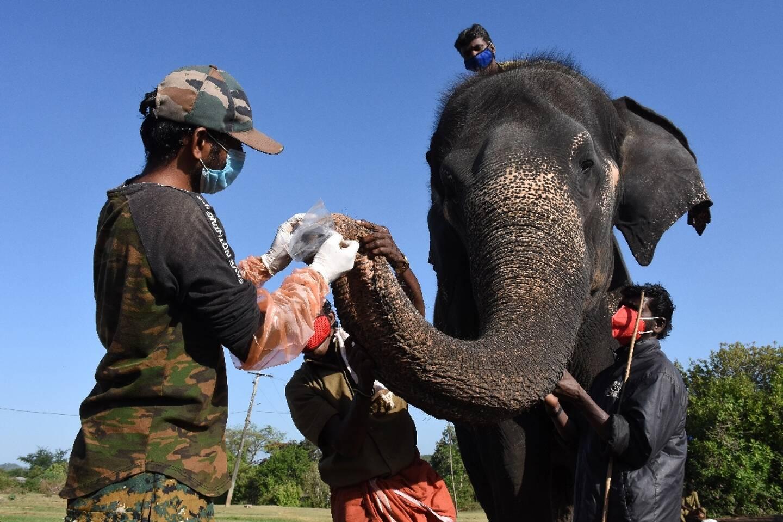 Des gardes forestiers prélèvent des échantillons sur un éléphant vivant en captivité pour des tests contre le Covid-19, à Theppakadu, en Inde, le 8 juin 2021