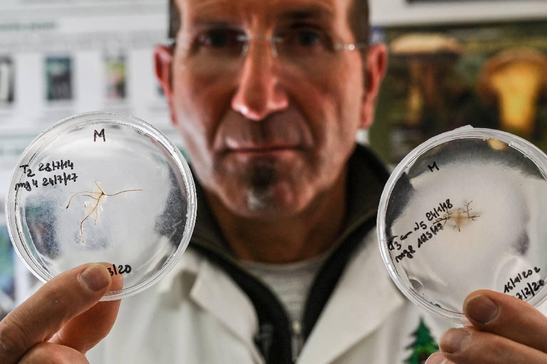 Pierre Cammalletti, directeur technique du programme de mycorhization, montre des cultures de la souche tuber magnatum, le 25 février 2021 dans le laboratoire de la pépinière Robin à Saint-Laurent-du-Cros