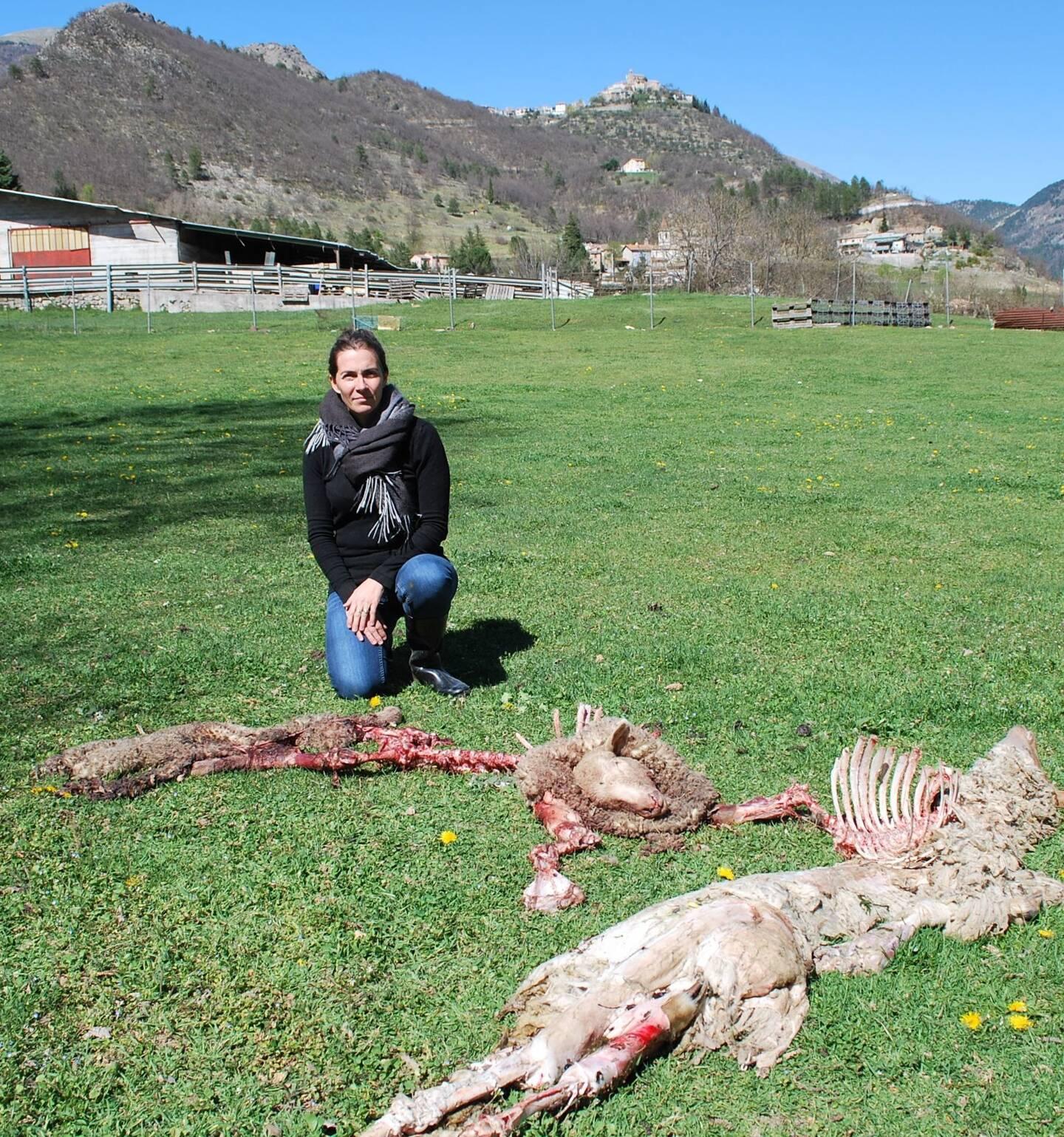 Sept des 11 bêtes d'Émilie Viglietti ont été tuées.