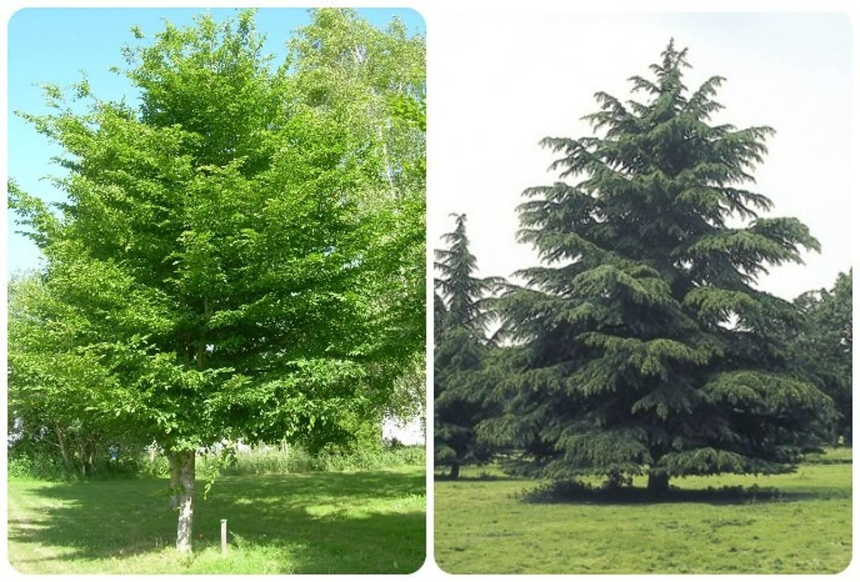 Le charme commun et le cèdre de l'Atlas, les arbres à privilégier.