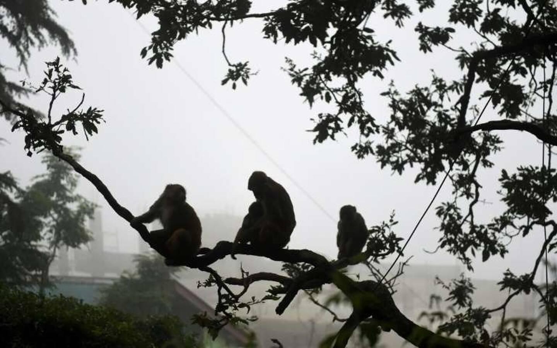 Des singes dans une ville indienne le 10 avril 2021.
