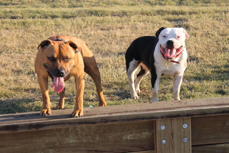 Deux Staffordshire Bull Terrier.