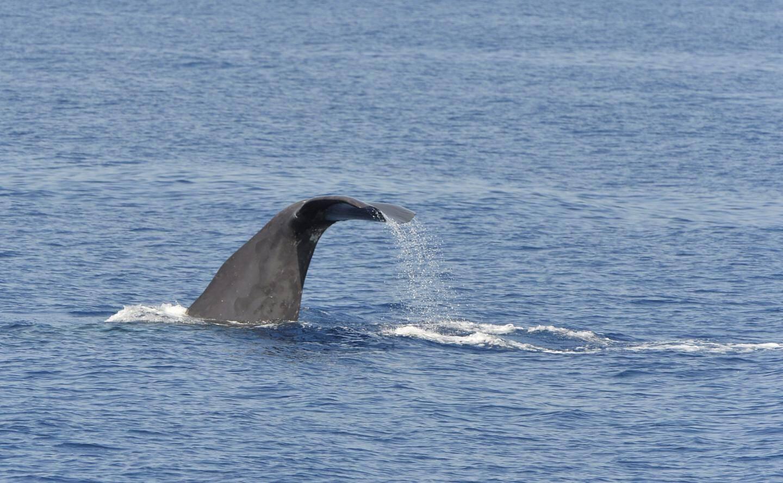 Clou du spectacle: un cachalot a été aperçu au large du Golfe de Saint-Tropez. Unechance «puisqu'on n'en voit pas à chaque sortie en mer», précise l'équipage.