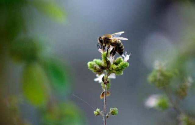 Le service de pollinisation rendu par les abeilles est estimé à l'échelle mondiale à... 153 milliards d'euros.