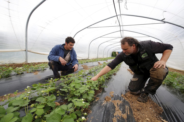 À la Cavagne, à Carros, les fraises ne sont pas encore mûres. « Ça tombe mal pour la fête mais nous y serons quand même afin de proposer des produits qui, eux, sont mûrs comme les petits pois, les fèves. (Ici), c'est le sol qui travaille. On ne booste pas.ça prend forcément plus de temps », explique l'agriculteur Nicolas Lassauque (à gauche). À droite : Raphaël Balestra, son associé.