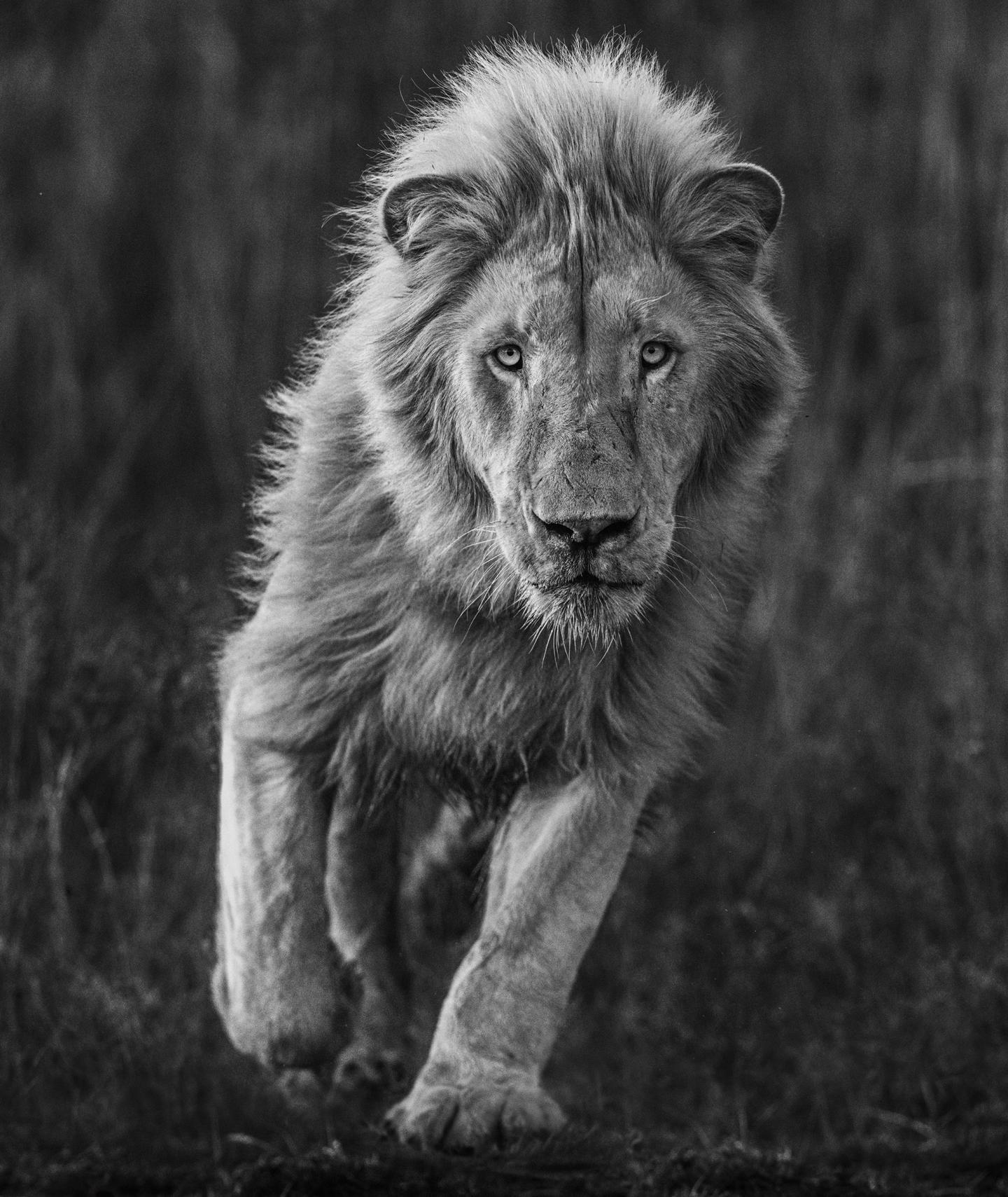 Kevin Richardson est le meilleur pour sécuriser une prise de vue avec un lion, comme celle-ci.
