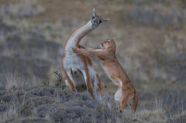 Le puma porte son attaque sur un lama et les poils volent. Pour Ingo, cette image marque le point culminant de sept mois de pistage des pumas en endurant les froids extrêmes et les vents mordants de la région patagonienne de Torres del Paine, au Chili.