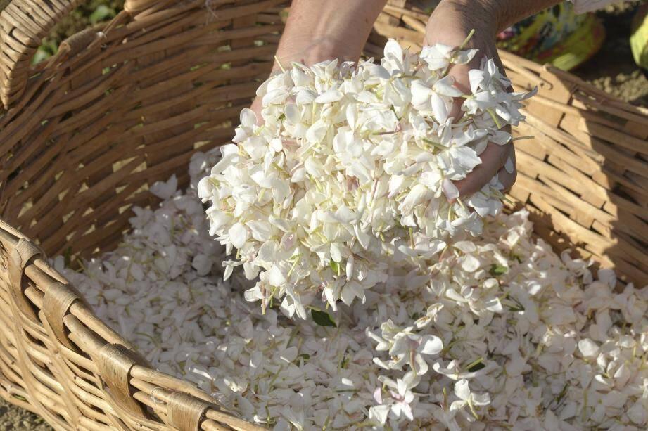 Pendant cinq heures, de 6 h du matin à 11 h, l'équipe de sept cueilleurs a récolté une dizaine de kilogrammes de fleurs de jasmin. Dès le lendemain, c'est autant de fleurs - et même de plus en plus - qu'il faudra à nouveau cueillir.