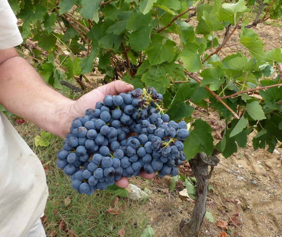 Cette année, les grappes sont particulièrement belles et le raisin mûr à point.