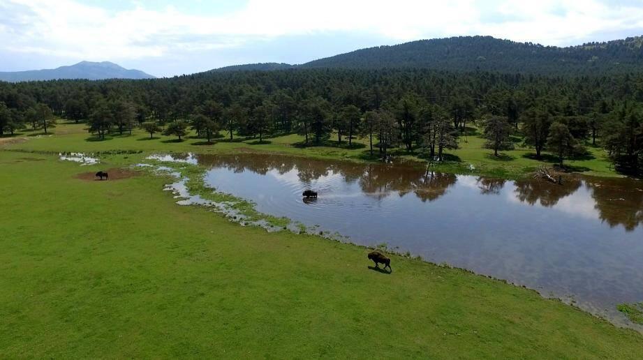 Les bisons évoluent dans la plaine de Thorenc, sur plus de 350 hectares.